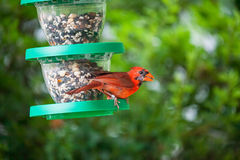 Northern Cardinal. A male northern cardinal bird eating from a feeder in the garden. Photographed in August in Northern Virginia when he was molting royalty free stock image