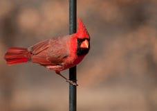 Northern Cardinal male, Cardinalis cardinalis Royalty Free Stock Images