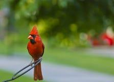 Northern Cardinal. Male Northern Cardinal (Cardinalis cardinalis stock photography