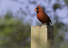 Northern Cardinal Male (cardinalis cardinalis) Stock Photo