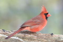 Northern Cardinal. A male Northern Cardinal (Cardinalis cardinalis) perching on a branch in winter Royalty Free Stock Image