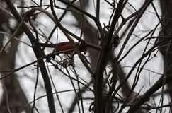 Northern Cardinal Perched On Small Branch. Male northern cardinal Cardinalis cardinalis perched on a small branch in gloomy weather stock photos