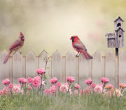 Northern Cardinal Male and Female royalty free stock photo