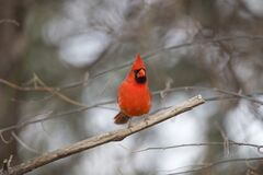 Free Northern Cardinal Male  Front On Royalty Free Stock Photos - 179907768
