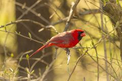 Free Northern Cardinal Male In The Early Spring Stock Photos - 113443993