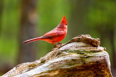 Northern Cardinal Male. The northern cardinal is a North American bird in the genus Cardinalis it is also known colloquially as the redbird or common cardinal Stock Photography