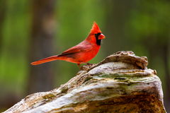 Northern Cardinal Male. The northern cardinal is a North American bird in the genus Cardinalis it is also known colloquially as the redbird or common cardinal Royalty Free Stock Image