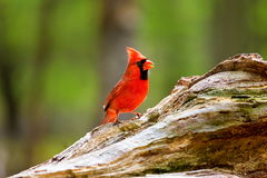 Northern Cardinal Male. The northern cardinal is a North American bird in the genus Cardinalis it is also known colloquially as the redbird or common cardinal Royalty Free Stock Photos