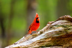 Northern Cardinal Male. The northern cardinal is a North American bird in the genus Cardinalis it is also known colloquially as the redbird or common cardinal Royalty Free Stock Images