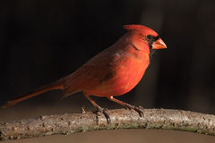 Northern Cardinal (Male). A Male Northern Cardinal perched in late afternoon Royalty Free Stock Photography