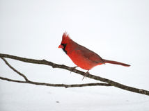 Northern cardinal. Male northern cardinal perched on a stick on the ground following winter snow Royalty Free Stock Image