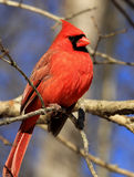 Northern Cardinal Stock Photos