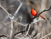 Northern Cardinal. Royalty Free Stock Photography
