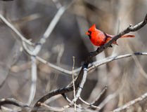 Northern Cardinal. Royalty Free Stock Photo