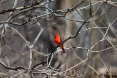 Northern Cardinal. Stock Photo