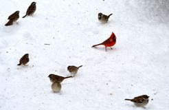 Northern cardinal. Male northern cardinal standing on the snow surrounded by other birds Royalty Free Stock Images
