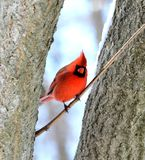 Northern cardinal. Male northern cardinal standing on a tree branch Stock Photo