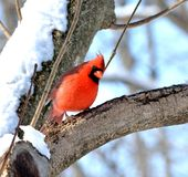 Northern cardinal. Male northern cardinal standing on a tree branch Royalty Free Stock Image