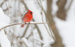Male Northern Cardinal in snow Royalty Free Stock Photography