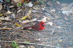 Cardinal red bird picture. The northern cardinal or North American bird on dry leafs image template Royalty Free Stock Photography