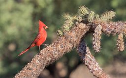 Male Northern Cardinal. The northern cardinal is a North American bird in the genus Cardinalis; it is also known colloquially as the redbird or common cardinal Stock Photo