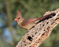 Female Northern Cardinal. The northern cardinal is a North American bird in the genus Cardinalis; it is also known colloquially as the redbird or common cardinal Stock Photography