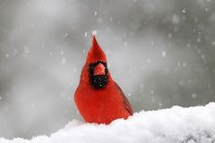 Northern Cardinal On A Snowy Day In Winter Stock Image