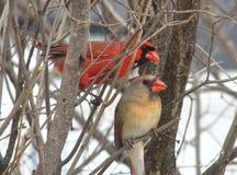 Northern Cardinal Pair Stock Image