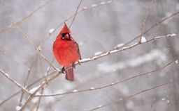 Northern Cardinal Perched on a Branch. Beautiful Northern Cardinal Perched on a Branch royalty free stock photo
