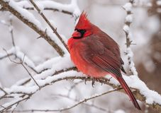 Northern Cardinal Perched on a Branch. Beautiful Northern Cardinal Perched on a Branch royalty free stock photos