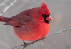 Northern Cardinal Perched on a Branch. Beautiful Northern Cardinal Perched on a Branch stock images
