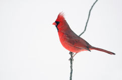 Northern cardinal perched on branch Stock Images
