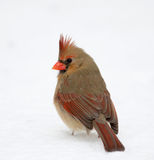 Northern cardinal perched on branch Stock Image