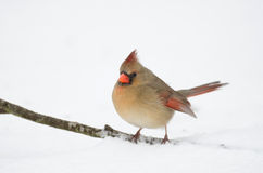 Northern cardinal perched on branch Royalty Free Stock Photography