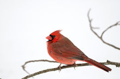 Northern cardinal perched on branch Royalty Free Stock Images