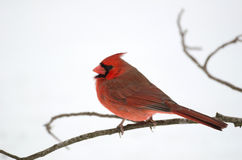 Northern cardinal perched on branch Royalty Free Stock Image