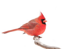 Northern Cardinal. Perched on a branch in winter snowfall Royalty Free Stock Images