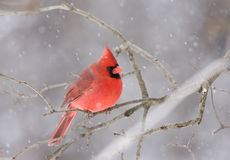 Northern Cardinal perched on a branch in winter snowfall Stock Images