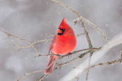 Northern Cardinal perched on a branch in winter snowfall Royalty Free Stock Photos