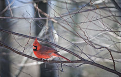 Northern Cardinal Perched on Limb Stock Photo
