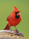 Northern Cardinal. A northern cardinal perched on a log Royalty Free Stock Images