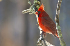 A Northern Cardinal perched on a small limb. Royalty Free Stock Photo