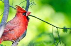 Northern Cardinal Perched in a Tree royalty free stock photo