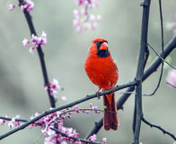 Northern Cardinal perched on a tree brunch. During spring bloom Royalty Free Stock Photo