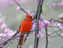 Northern Cardinal perched on a tree brunch. During spring bloom stock images