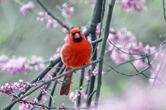 Northern Cardinal perched on a tree brunch. During spring bloom Royalty Free Stock Photography