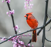 Northern Cardinal perched on a tree brunch. During spring bloom Royalty Free Stock Photos