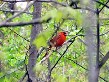 Northern Cardinal perched in a tree stock images