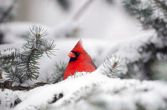 Northern cardinal perched in a tree. Male northern cardinal sitting in an evergreen tree following a winter snowstorm Royalty Free Stock Photos