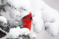 Northern cardinal perched in a tree. Male northern cardinal sitting in an evergreen tree following a winter snowstorm Royalty Free Stock Photo